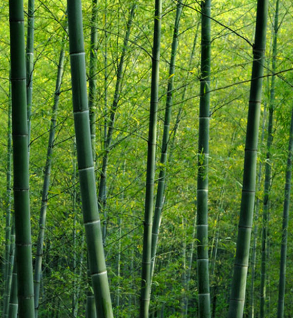 Bamboo-forest2